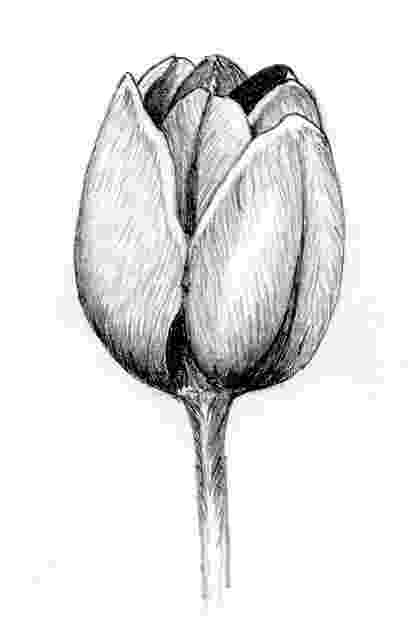 sketch of tulip flower pin by roxie bishop on drawing pinterest tulip drawing of flower sketch tulip