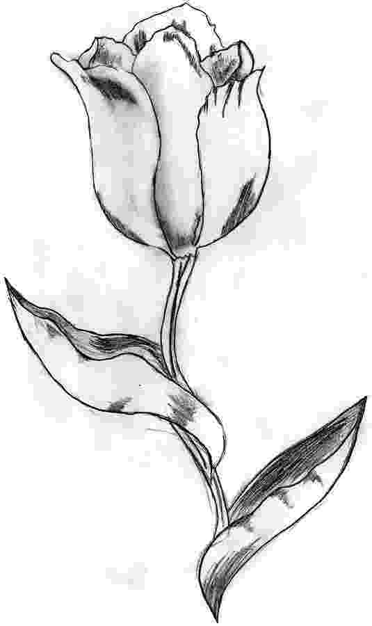 sketch of tulip flower tulip drawing by nicole brown tulip sketch of flower