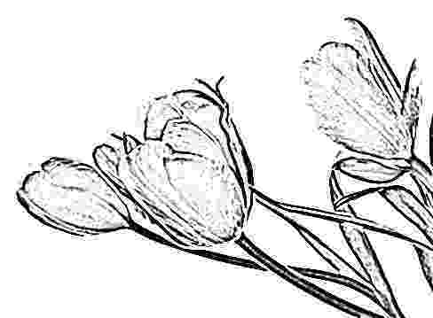 sketch of tulip flower tulip pencil floral drawings yahoo image search results sketch tulip flower of