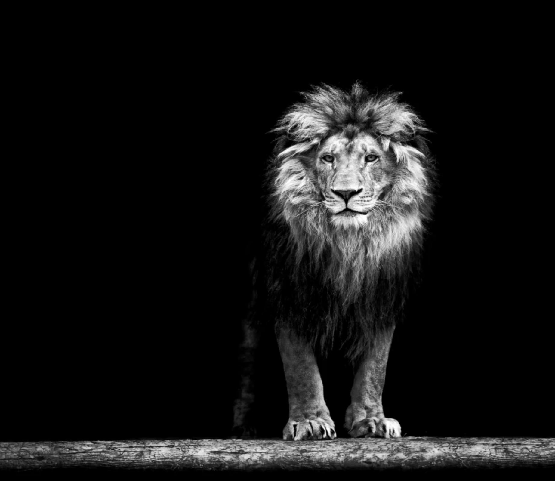 standing lion black standing lion heraldry tattoo design stock vector lion standing
