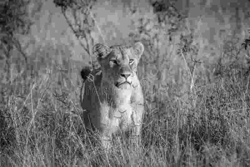 standing lion cartoon lion clipart etc lion standing