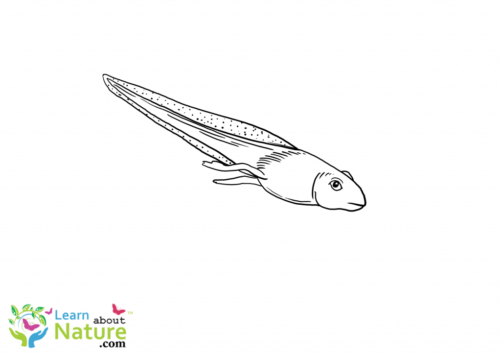 tadpole coloring page 14 best images of first next then last worksheet first page tadpole coloring