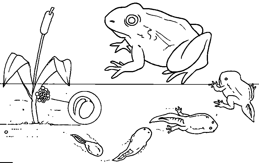 tadpole coloring page tadpole to frog colouring pages google search tadpole page coloring