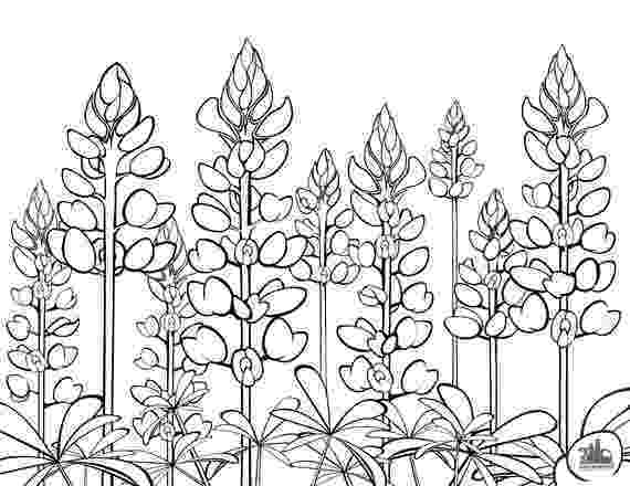 texas coloring page texas bluebonnets coloring sheet etsy texas coloring page