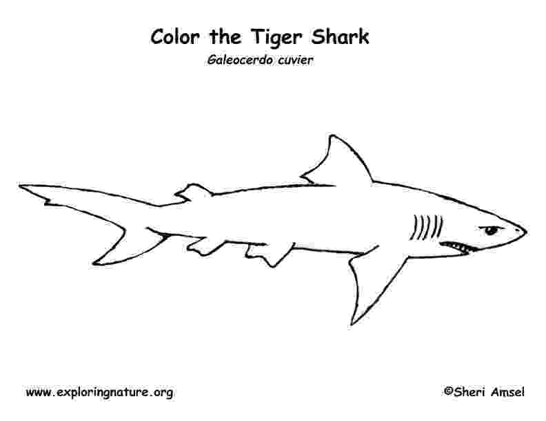 tiger shark coloring page tiger shark coloring pages shark coloring pages coloring tiger shark page coloring