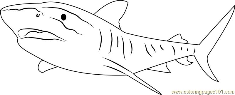 tiger shark coloring page tiger shark drawing at getdrawings free download coloring shark tiger page