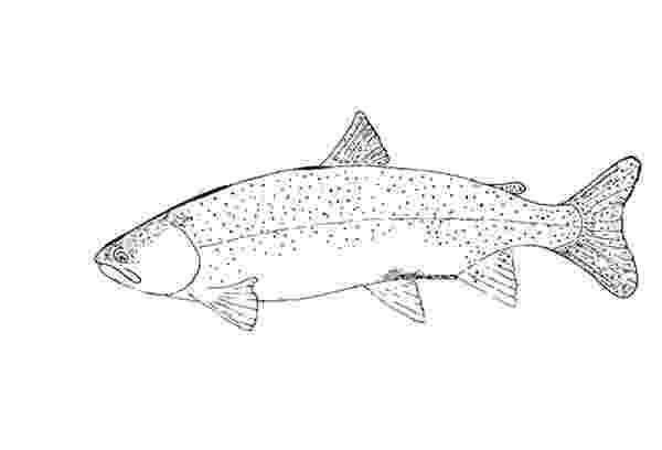 trout coloring page new mexico game fish coloring page trout