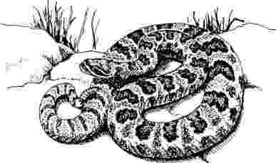 western diamondback rattlesnake coloring pages eastern diamondback rattlesnake coloring download eastern diamondback western pages coloring rattlesnake