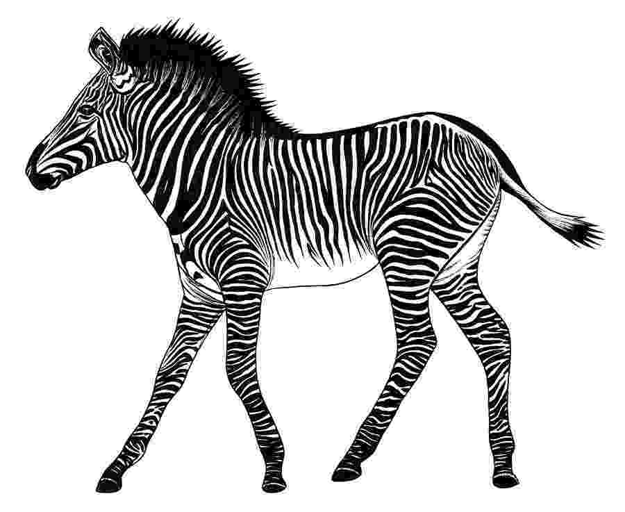 zebra sketch 3d zebra drawing sketch zebra