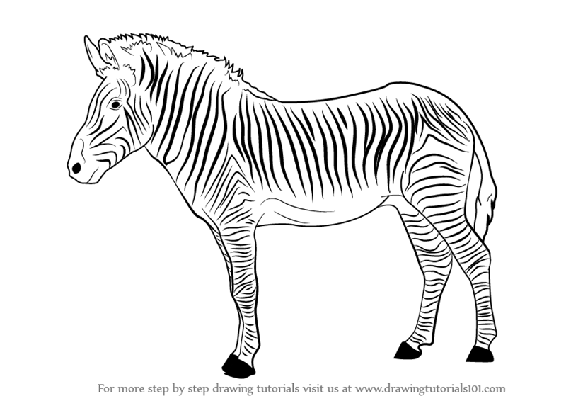 zebra sketch how to draw a zebra head drawingforallnet zebra sketch