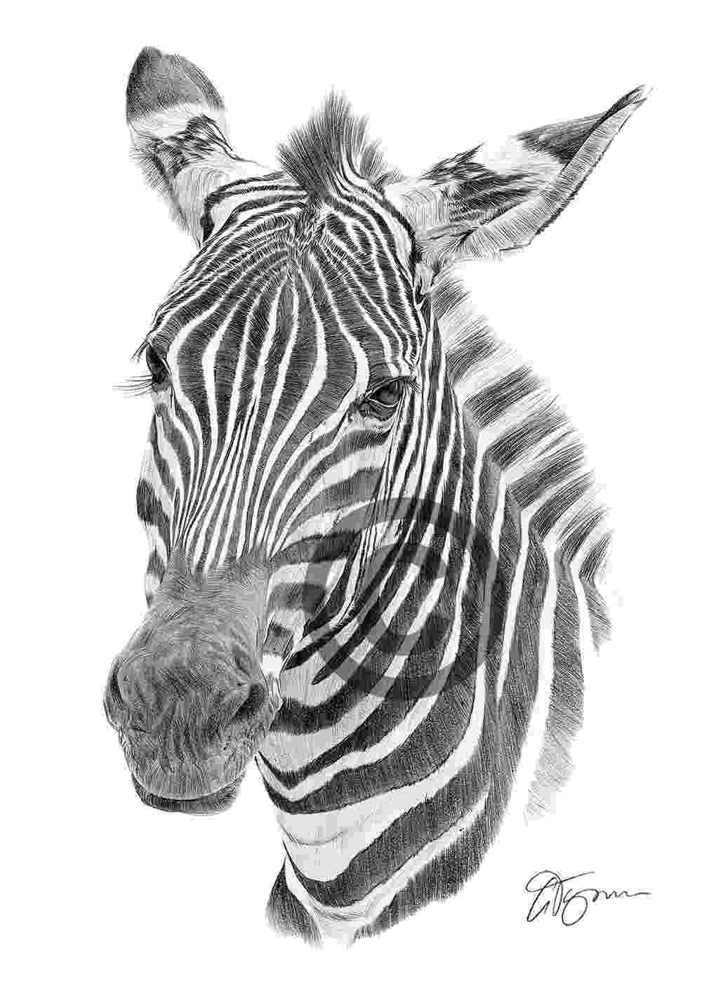 zebra sketch kaysmithbrushworks zebra negatively painted zebra sketch