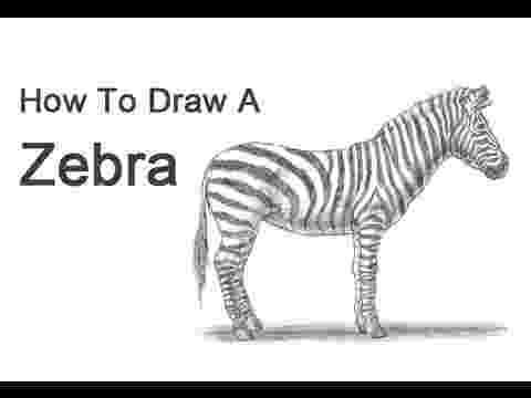 zebra sketch learn how to draw a zebra zoo animals step by step sketch zebra