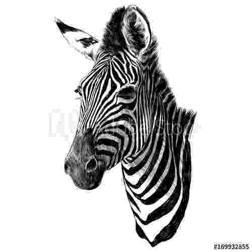 zebra sketch sketch of a baby zebras face stock illustration download zebra sketch