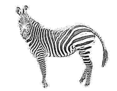 zebra sketch zebra 1 sketch for canvas painting zebra sketch