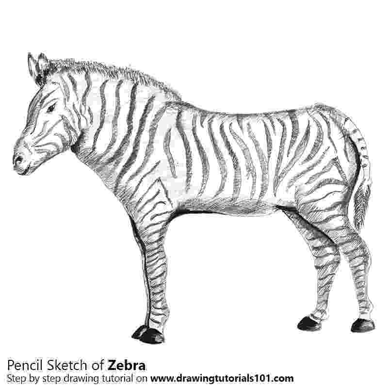 zebra sketch zebra drawing by tim dangaran sketch zebra