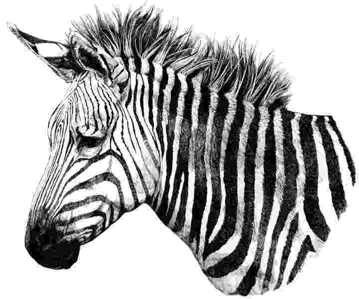 zebra sketch zebra pencil drawing how to sketch zebra using pencils zebra sketch