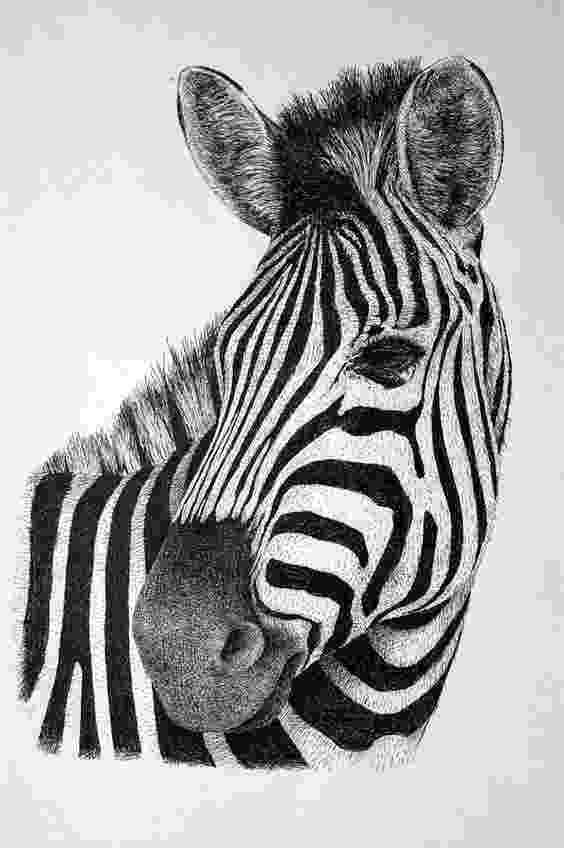 zebra sketch zebra sketch stock vector illustration of vector element zebra sketch